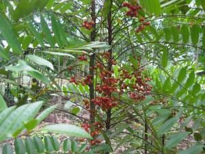 jual kopi tongkat ali- jual khasiat kopi tongkat ali- jual kopi pasak bumi